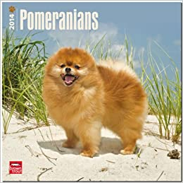 Pomeranian Dog Breed Information and Personality Traits