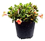 PlantVine Barleria repens, Coral Creeper - 6 Inch Pot (1 Gallon), 4 Pack, Live Plant