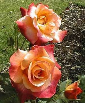 25 Stratified Bonfire Rose Seeds Package By My Secret Gardens