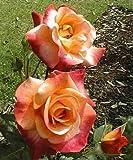 Amazon Com Snowdrift Rose Bush Flower Seeds Flowering