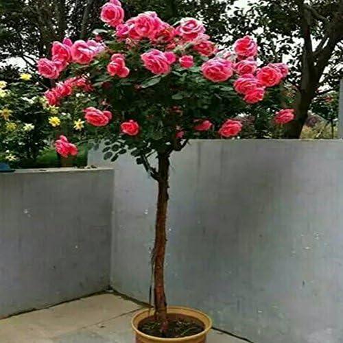 100 PC / paquete flor rara semillas de Rose de los árboles, jardín de DIY en maceta, y flores de plantas Balcón Patio envío gratuito: Amazon.es: Jardín