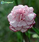 New Pink & Red Edge Dianthus caryophyllus 100+ Seeds