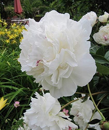 Paeonia UK Stockist : 1 Large Bare Root Perennial Garden Summer Perennial Festiva Maxima GARTHWAITE NURSERIES/® : Peony Lactiflora