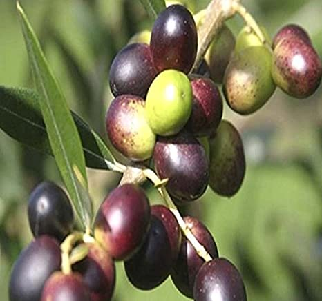 Amazon.com : OLIVE TREE - Olea europaea - Seed Seeds - Great For BONSAI - Variety from ITALY - Frangrant Blooms - PERFECT FOR INDOOR AND GREENHOUSE (050 ...