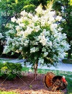 Myrtle Bonsai - Seed 100pcs Crape Myrtle -Shrub Perennial Flower Bonsai Plant Courtyard Myrtle Flowers Home Plant