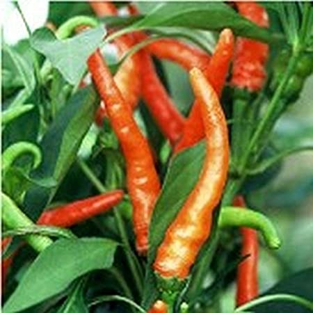 turn from green to orange when mature NuMex Sunburst Hot Pepper Seeds !!