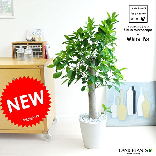 LAND PLANTS 【観葉植物】 ガジュマル 朴仕立て (白色セラアート鉢) B06WWGCPM9