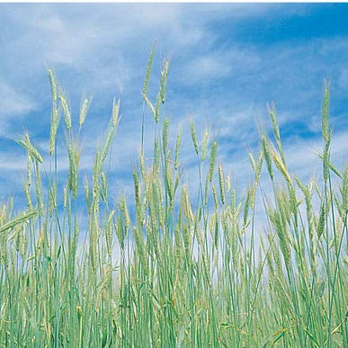 Lumos80 50 Pounds Winter Rye (Common) Organic Cover Crop Seed by Lumos80