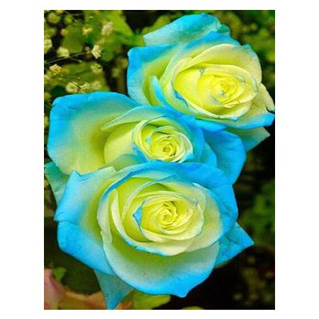 Seeds Shopp - Blue and yellow hybrid roses seeds of rare flowers, seeds scarce balcony patio garden bonsai potted plants 120PCS Loss Promotion!