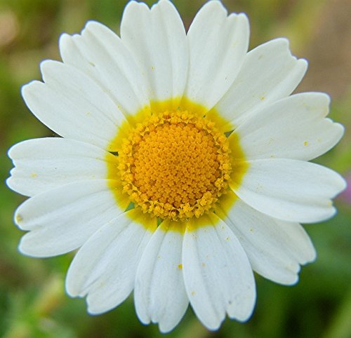 250 Seeds Shasta Daisy