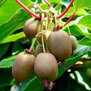 Amazoncom Hirts Hardy Anna Kiwi Plant Actinidia Female