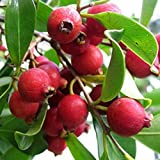 Strawberry Guava Tropical Fruit Trees 3-4 Feet Height in 3 Gallon Pot #BS1