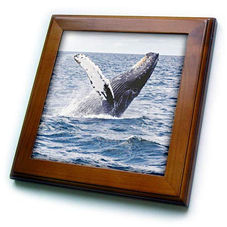 3dRose Sven Herkenrath Animal - Whale Jumping Out Of The Water Animal Photography - 8x8 Framed Tile (ft_288284_1) -