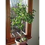 Key Lime Tree Seeds   Citrus Fruit   MEDICINAL BENEFITS   House Plant   10  Seeds