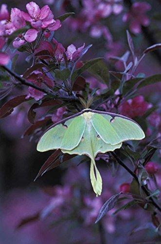 USA, Pennsylvania Luna moth on crabapple tree by Nancy Rotenberg - 17