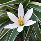 "4 Rain Lily Bulbs, Zephyranthes ""Candida"", Magic Lily, Fairy Lily, Rainflower, Zephyr Lily, Flowering Size.(4 bulbs)"