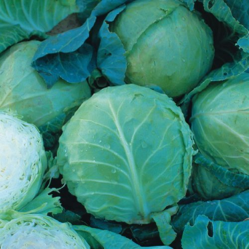 Just Seed - Cabbage - Holland Late Winter - 100 Seed - Economy Pack