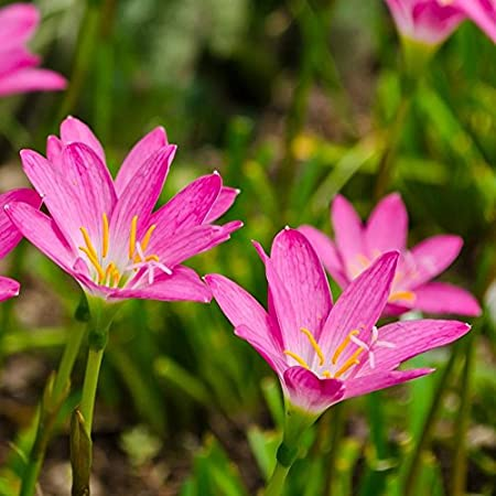 Amazon Com Zephyranthes Pink Rain Lily 25 Bulbs Now Shipping