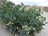 HOT - Genuine Meerkohl Seeds,Crambe Maritima, Rare Gourmetgemüse 5 Seeds