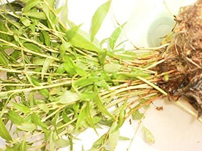 "Vietnamese coriander, ""Rau Ram"" /egg mint 12 rooted plants PLUS 12 FREE PLUS (no pot and no soil)"