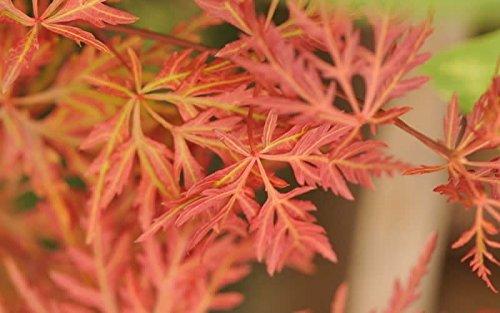 Green Lace Japanese Maple - Orange Japanese Maple - Orangeola Japanese Maple 2 - Year Live Tree