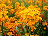 The Dirty Gardener Erysimum Siberian Wallflower Flowers - 1,600 Seeds