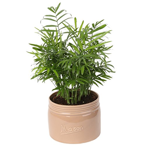(Costa Farms Neanthe Bella Parlor Palm, Live Indoor Plant, 14 to 16-Inches Tall, Ships in Mason Jar Ceramic, Fresh From Our Farm, Excellent Gift or Home Décor)