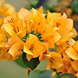 Solution Seeds Farm Rare Heirloom Yellow Bougainvillea Spectabilis Willd Bonsai Seeds,100 Seeds.