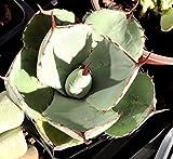 """Agave Parryi Var. Truncata (Artichoke Agave), 4"""" Pot"""