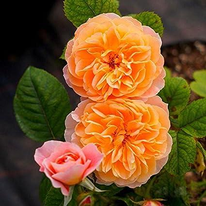 Small eamqrkt 100 Pzas//Juego Rosal Trepador Semillas Perenne Arom/ático Jard/ín Hogar Planta Multiflora Flor Semilla Blanco