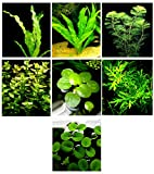 Product review for 20 Live Aquarium Plants / 7 Different Kinds - Amazon Swords (2 kinds), Egeria, Cryptocoryne and much more! Great plant sampler for 5-6 gal. mini- tanks!