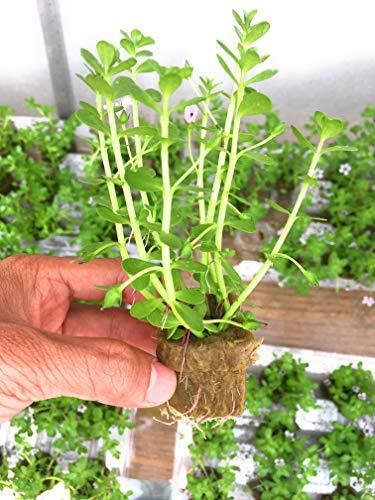 Bacopa Monnieri Moneywort Freshwater Live Aquarium Plants 8 Stems with Roots