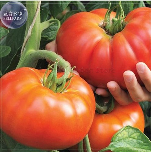New Beefmaster Hybrid F1 Tomato Seeds, 100+ -