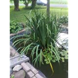 HATCHMATIC Lily Fish Pond and Garden Seeds pod Lily pad