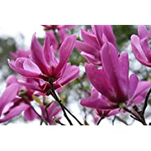 ANN MAGNOLIA TREE - Size: 3 Gallon, live plant, includes special blend fertilizer & planting guide