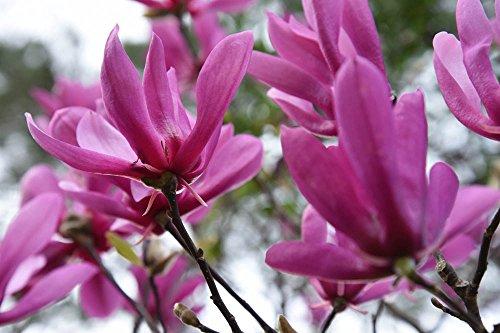 Ann Magnolia Tree Size 5 Gallon Live Plant Includes Special