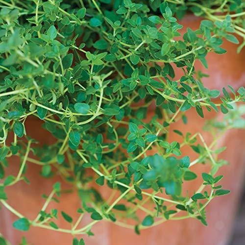 Burpee Common' Thyme 3 Live Plants, 2 1/2