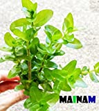 Mainam Bacopa Caroliniana Live Aquarium Plants Stems Bundle Freshwater Tropical Flowering Plant Decorations