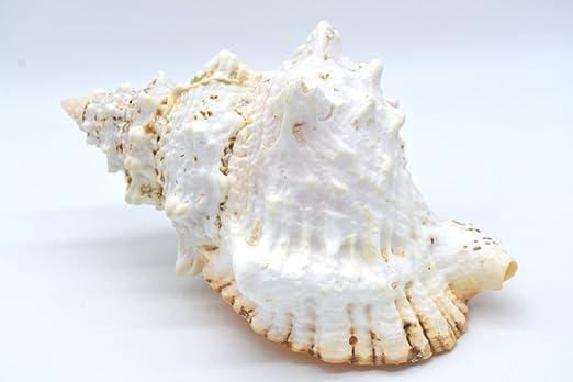 Dekomuschel Echte Meeres Schnecke Bursa Bubo Mind 15 Cm Lange Dekoration Muschel Aquarium Basteln Und Dekorieren Amazon De Kuche Haushalt