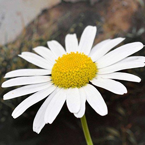 Shasta Daisy Flower Seeds - Snow Lady Variety - 100 Seeds - AAS Winner - Dwarf Flower Garden Plant - Perennial (Shasta Daisy Germination)