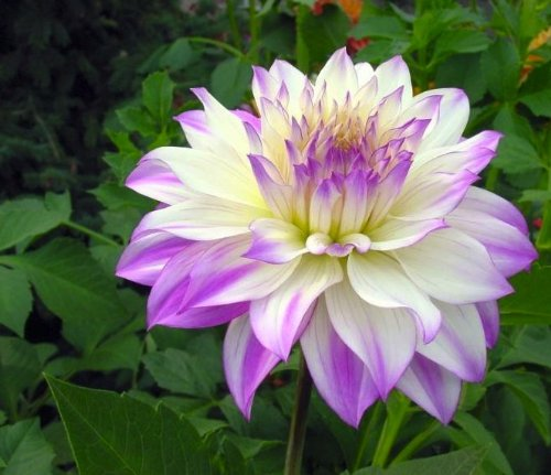 Rose Cut Illusion (Ferncliff Illusion Dahlia Flower Seeds 50 Stratisfied Seeds)