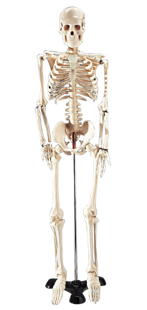 Mr. Thrifty Budget Skeleton Model 33 1/2 in High for Classroom Use