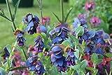 astorfarm Honeywort Seeds,Cerinthe Major 'Purpurascens'.Blue Shrimp Plant, Great in Container, Perennial. (100 Seeds)