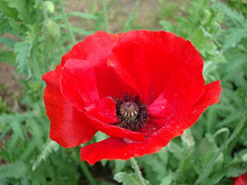 Annual Flower Seeds List zellajake collection selection wildflower butterfly (Poppy Red Corn 1500)