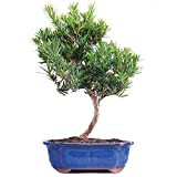 Cheap Brussel's Podocarpus Micro Phyllus Bonsai – Large – (Outdoor)