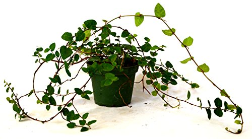 9GreenBox - Creeping Fig Plant - 3'' Pot