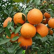50 seeds/bag Rare potted fruit tree new varieties of sweet orange seeds seedlings Oranges tree sapling fruit tree seed