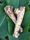 2 Lb. Horseradish Root. Great for Spring