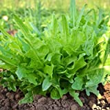 1/2 Oz Organic Seeds of Italienischer Lettuce Organic