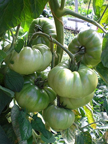 (50 seeds Tomato Aunt Ruby's German Green)